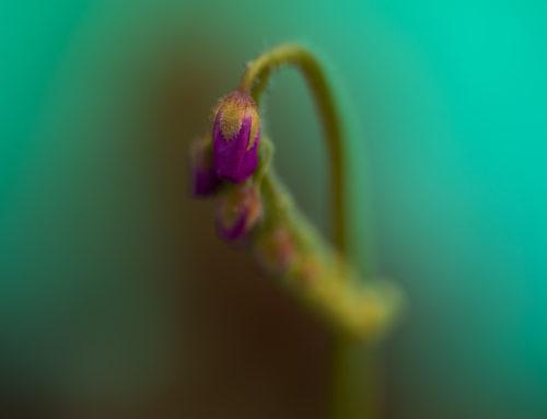 Sonnentau Blütenstand