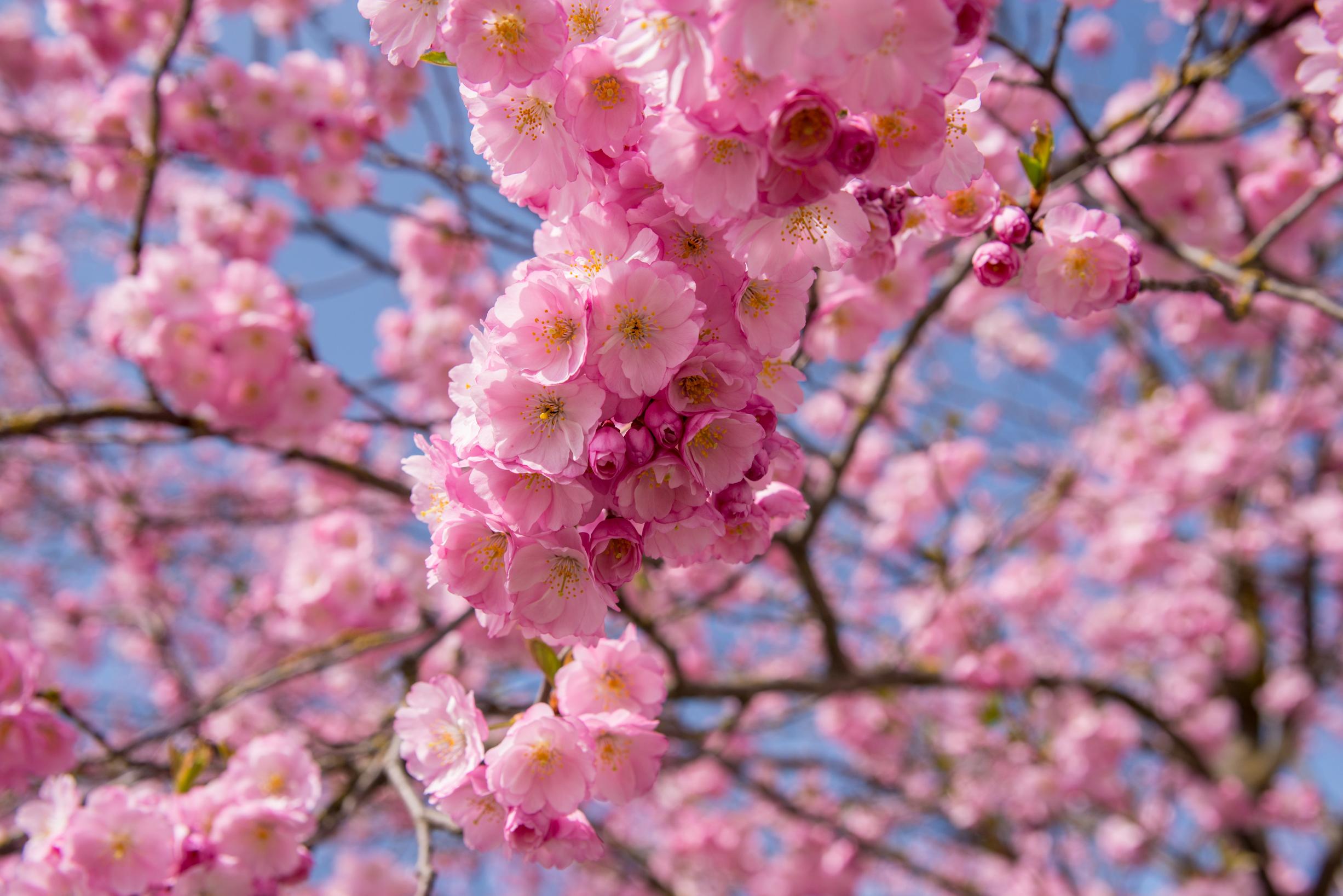 daod - Kirschblüten