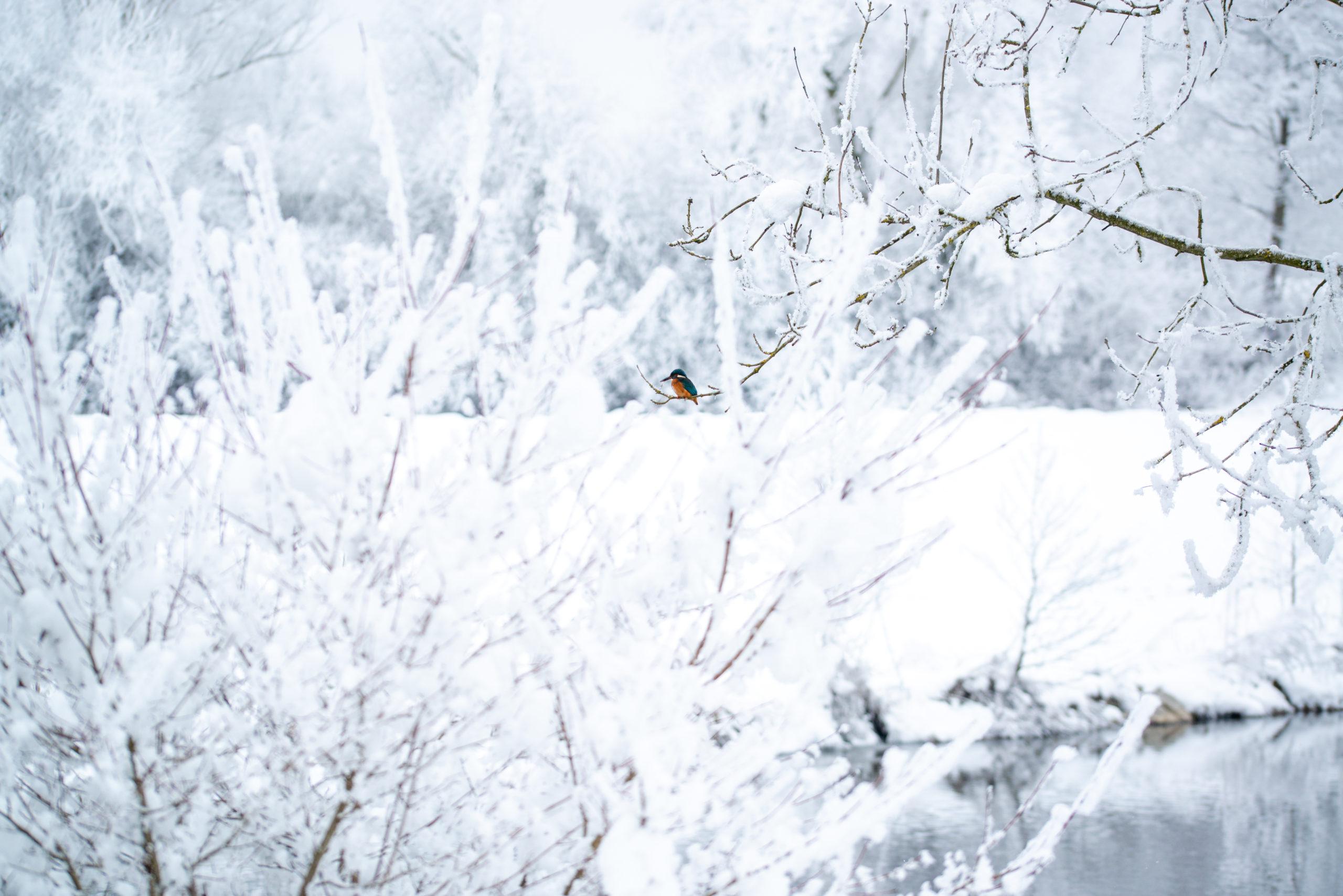 daod - im Schnee, am Fluss und der Eisvogel